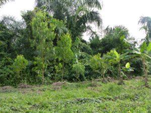Eucalyptus délimitant la ferme école
