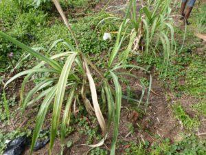 Plants de Canne à sucre