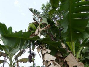 Bananier nain
