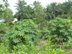 Plants de Manioc